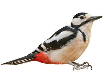 Male Great Spotted Woodpecker (Dendrocopos major), isolated, with White  background Wall mural