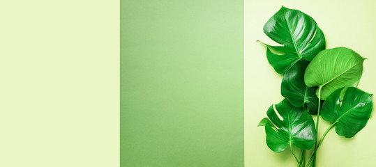 Green monstera leaves on olive green background with copy space. Top view. Minimal design. Exotic...