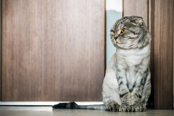 cat Scottish fold trimmed without for sites on the floor