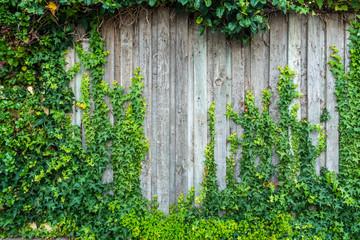 Obraz Green ivy leaves climbing on old grungy garden fence. Old wood planks covered by green leaves. Natural background texture. - fototapety do salonu