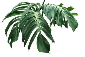 green leaves of monstera isolate on white background
