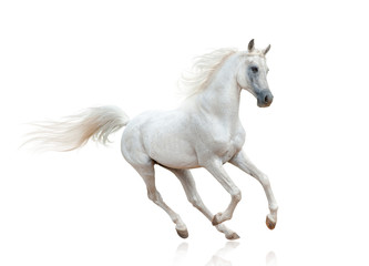 Snow white arabian stallion isolated Fotomurales