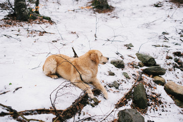 golden retriever dog in beech forest in winter with snow on the ground