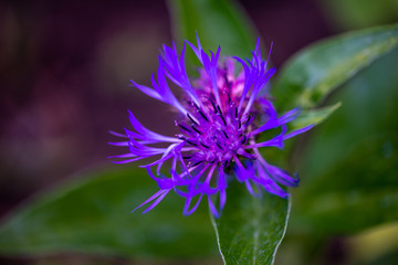 Fleur de bleuets dans le jardin