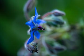 Fleur de l'herbe de bourrache, connue sous le nom starflower, comestible, excellente pour la santé et la peau