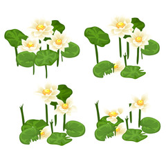 Set of stages for the destruction of landings of white water Lily isolated on white background. Vector illustration.