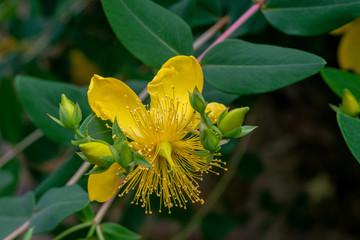Fleur de la plante le Milleperpuis sert à repousser la mélancolie, elle est connue pour ses effets antidépresseurs