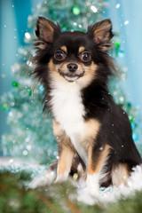 Niedlicher Chihuahua an Weihnachten