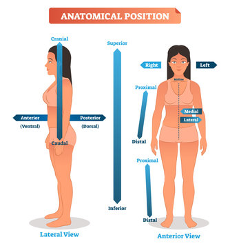 Anatomical positions vector illustration. Scheme of superior, inferior and proximal, distal locations, as well as medial, lateral and anterior, posterior sides
