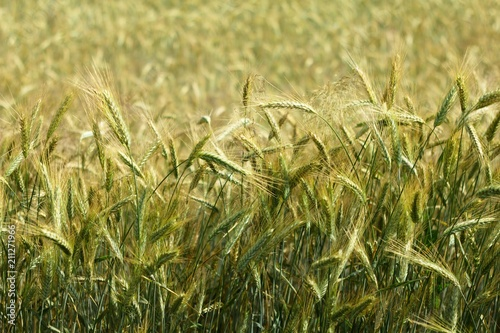 Grain Barley is one of the oldest agricultural crops  It is