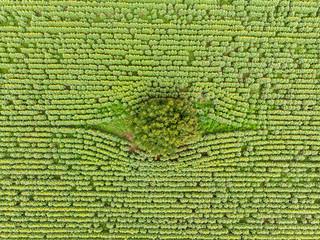 bird eye view of sunflower field