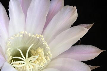 Fotobehang Close Up of a Flowering Cactus In Bloom on Black Background