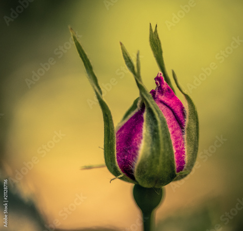"Fond Vert Clair felur rose seule sur fond vert clair"" stock photo and royalty-free"