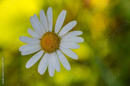Fleur Marguerite Blanhe Seule Sur Fond Jaune Et Vert Stock Photo