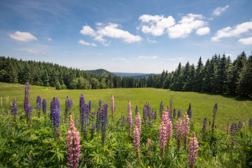 Bergwiese im Thüringer Wald mit Lupinen