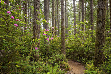 Wild Rhododendrons in the pacific northwest