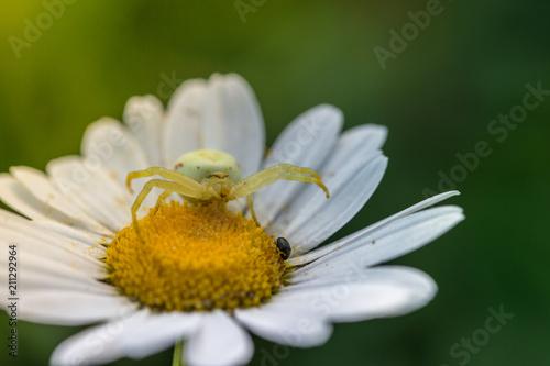 Araignee Sur Une Fleur Marguerite Attend Sa Proie Sous Le Soleil