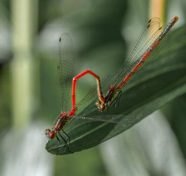 deux insectes libellule rouge  accouplement sur feuille verte