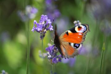 insecte papillon posé sur une fleur de lavande avec une lumière douce du soleil et des couleurs de printemps