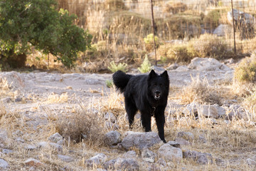 A black guard dog in the farm in the island of Patmos, Greece