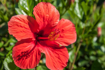 detail of hibiscus flower, Hibiscus