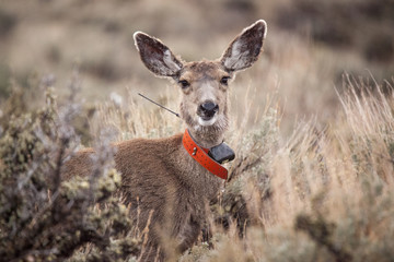Deer w tracking device