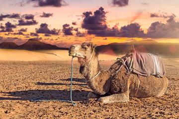 Dromedario en el desierto.Paisaje exótico de atardecer en el desierto