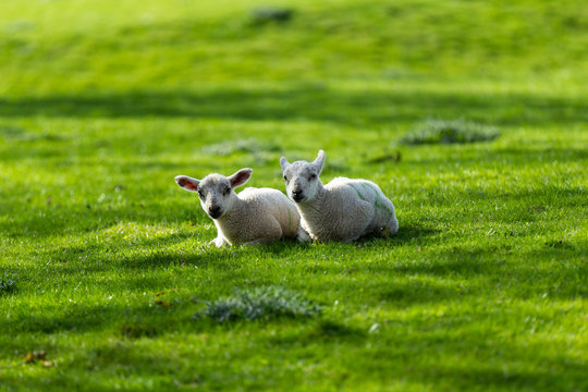 Young spring lambs resting and laying in lush green grass