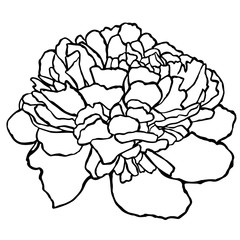 peony, flower, hand-drawing vector illustration sketch