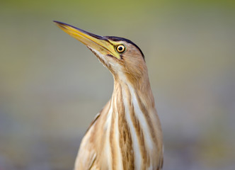 Little bittern portrait