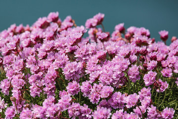 pink thrift flower, West Ireland, Ring of Kerry, Atlantic coast