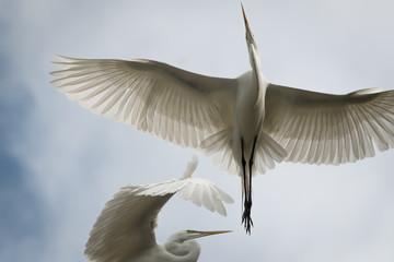Great White Flying Egret
