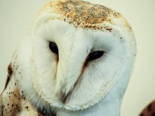 owl, hunter birds at night