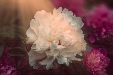 Fotobehang Beautiful white peony in an environment of large pink flowers in beams of the sun.