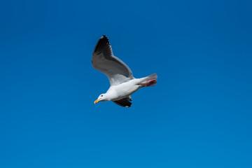 青空をバックに飛ぶカモメ