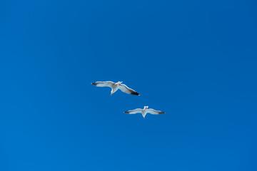 青空をバックに飛ぶ二羽のカモメ