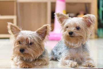 可愛い・小型・犬・ヨークシャテリア