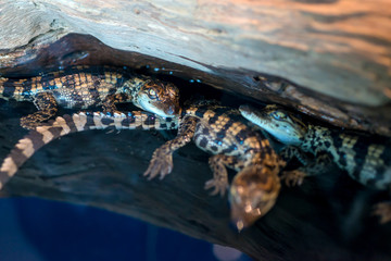Saltwater Crocodile baby or science name Crocodylus Porosus lying on the timber