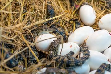 Crocodile baby incubation hatching eggs or science name Crocodylus Porosus lying on the  straw