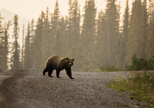 Grizzly Bear crossing the road