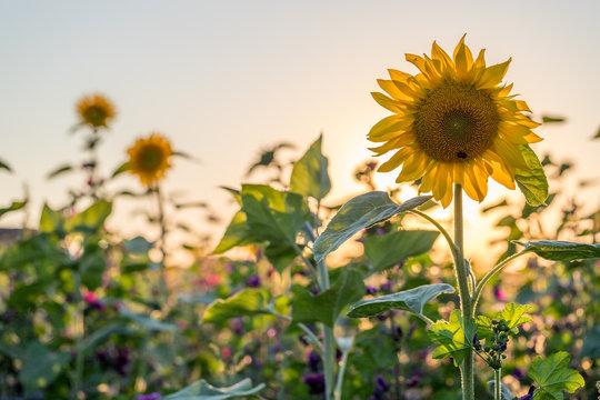 Sonnenblumen auf einer Blumenwiese in Rheinhessen an einem Sommerabend