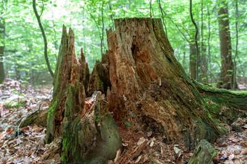 Morscher Baumstumpf
