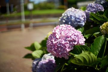 枯れかけの紫陽花