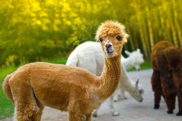 Young alpaca with a comical face.