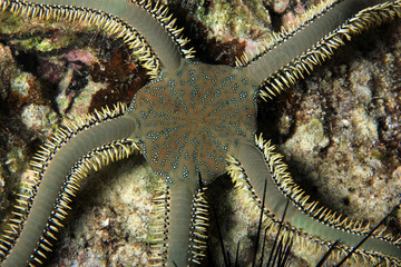 Brittle Star Viewed from above. Moalboal, Philippines