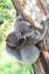 Koala Joey On Mothers Back on a tree branch, Australia