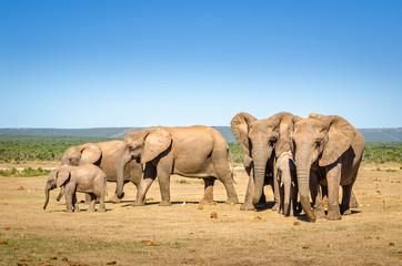 Elephants herd, Addo elephants park, South Africa