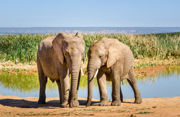 Elephants, Addo elephants park, South Africa