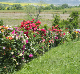 Flowering of roses in the garden