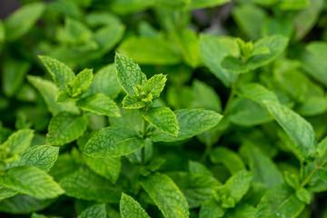 Dense feuillage de menthe dans le jardin, plante aromatique riche en menthol appréciée en cuisine ou dans le thé